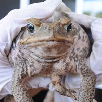 A five legged cane toad is held up for the camera at a collection point in Cairns , Australia, Sunday, March 29, 2009. Thousands of poisonous cane toads met a poetic fate on Sunday, as gleeful Australians gathered for a celebratory mass killing of the hated amphibians, with many of the creatures' corpses being turned into fertilizer for the very farmers they've plagued for years. (AP Photo/Brian Cassey) / SCANPIX Code: 436