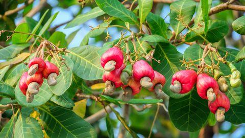India pähklid kasvavad just niimoodi - kašupuu küljes.