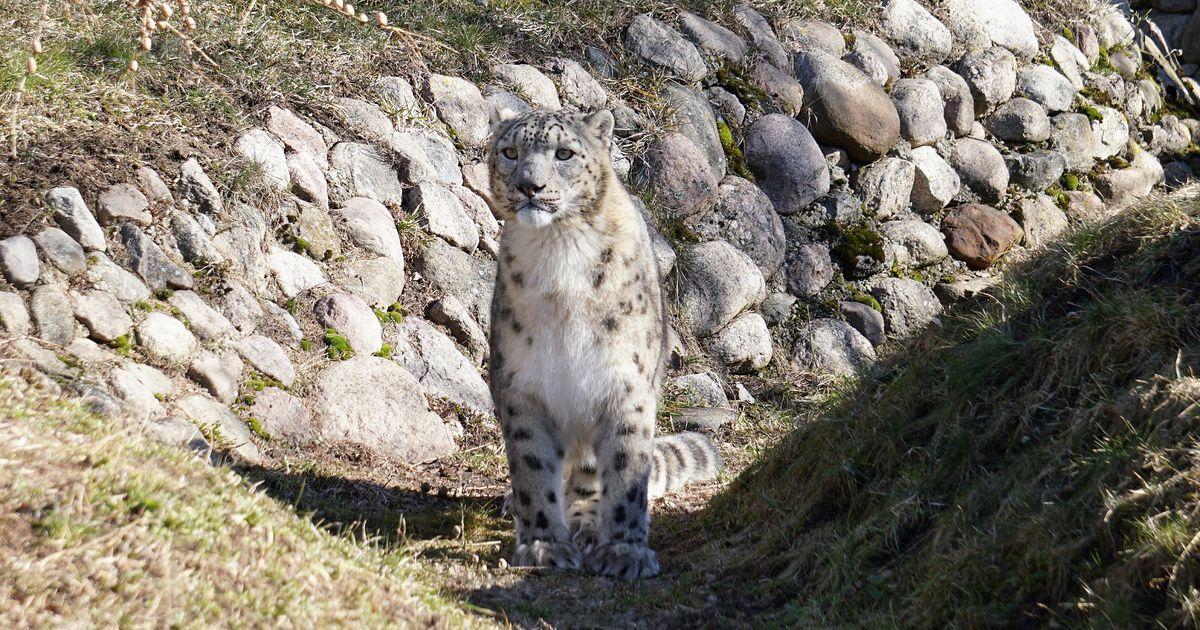 Kas sina tead, mida söövad pesukarud ja lumeleopardid? Tallinna loomaaed näitab!