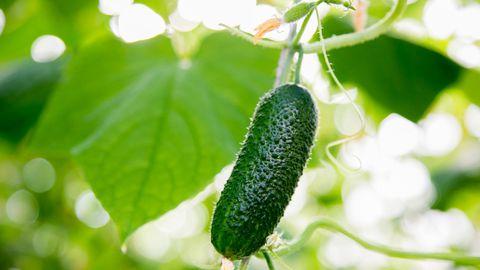 Soodsal kasvuajal korjatakse kurki üle päeva, siis saadakse paraja suurusega heamaitselised viljad värskelt söömiseks ja hoidistamiseks.