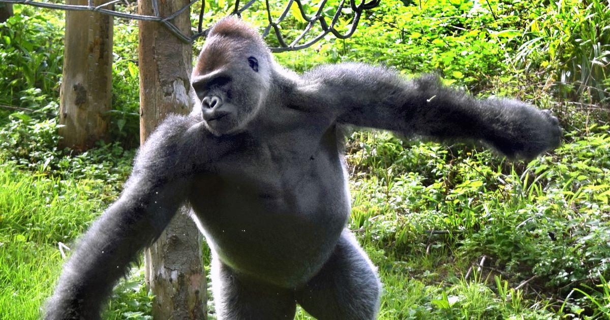 Gorilla pistis 19 000 dollarit pintslisse