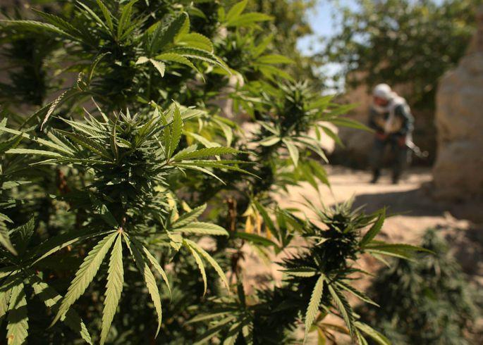 Афганистан плантации конопли как проявляется зависимость от марихуаны