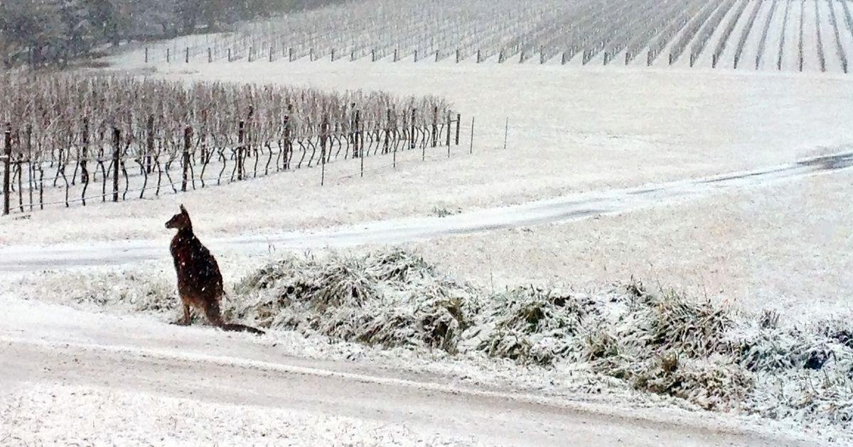 Haruldased kaadrid: Lumesadu Austraalias tekitab kängurutes tõelist segadust