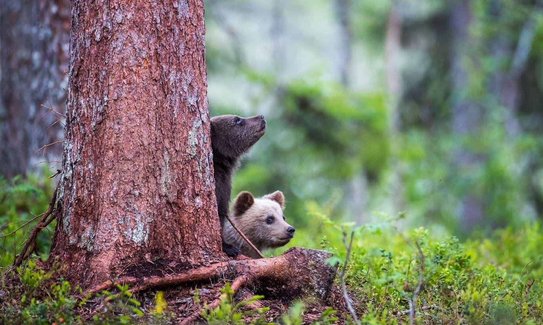 одним картинки медвежата в лесу с добрым утром модель прямо