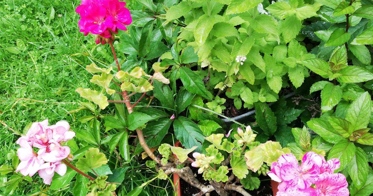 Looduse vingerpuss: Pärnu aias õitsev lill uhkeldab kolme eri värvi õiekobaraga