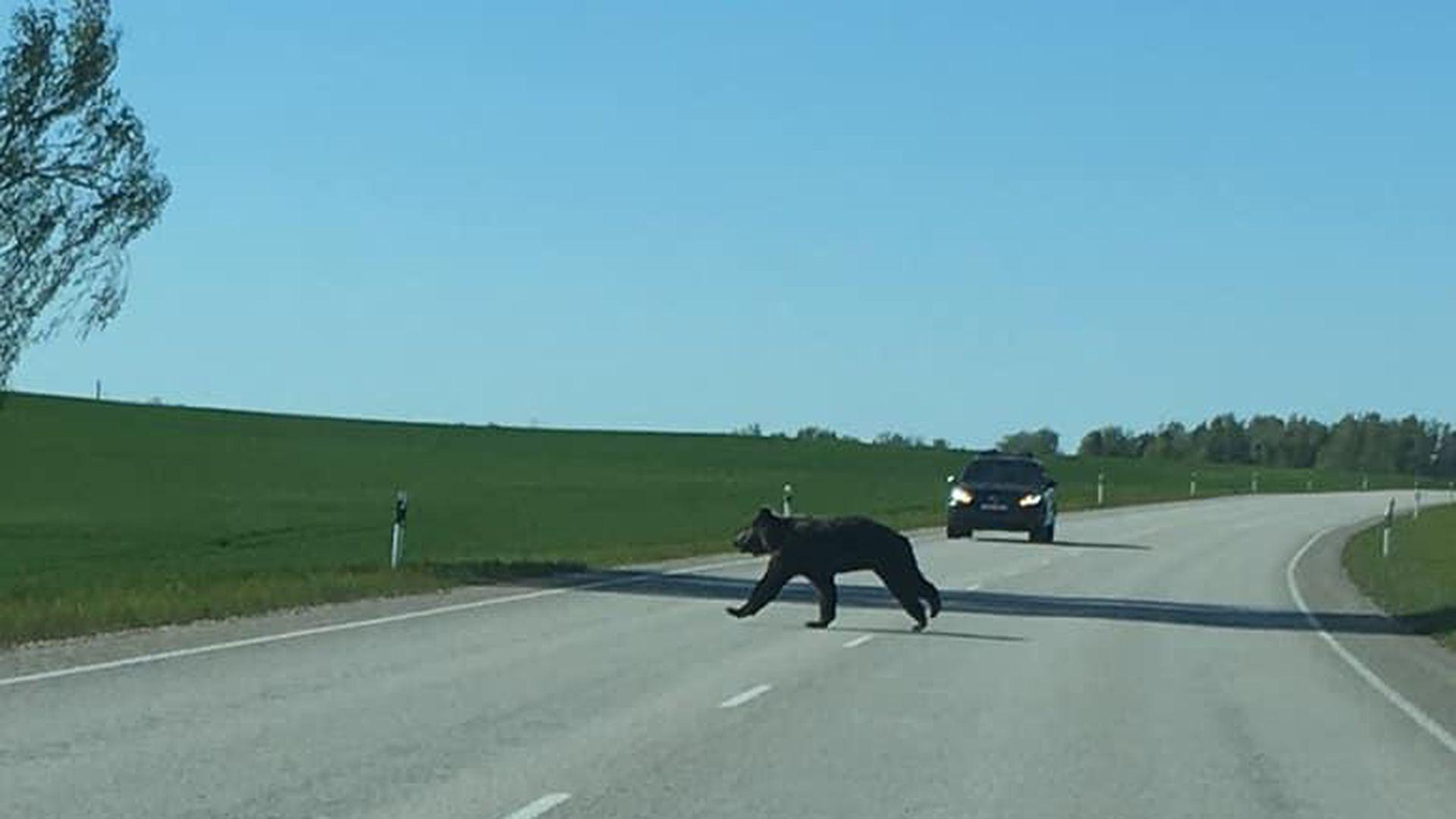 Karu jooksis teele: