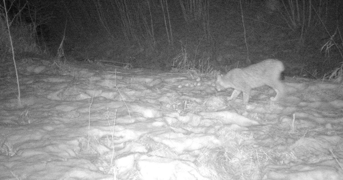 Video: haruldased kaslased näitasid end salakaamerasse