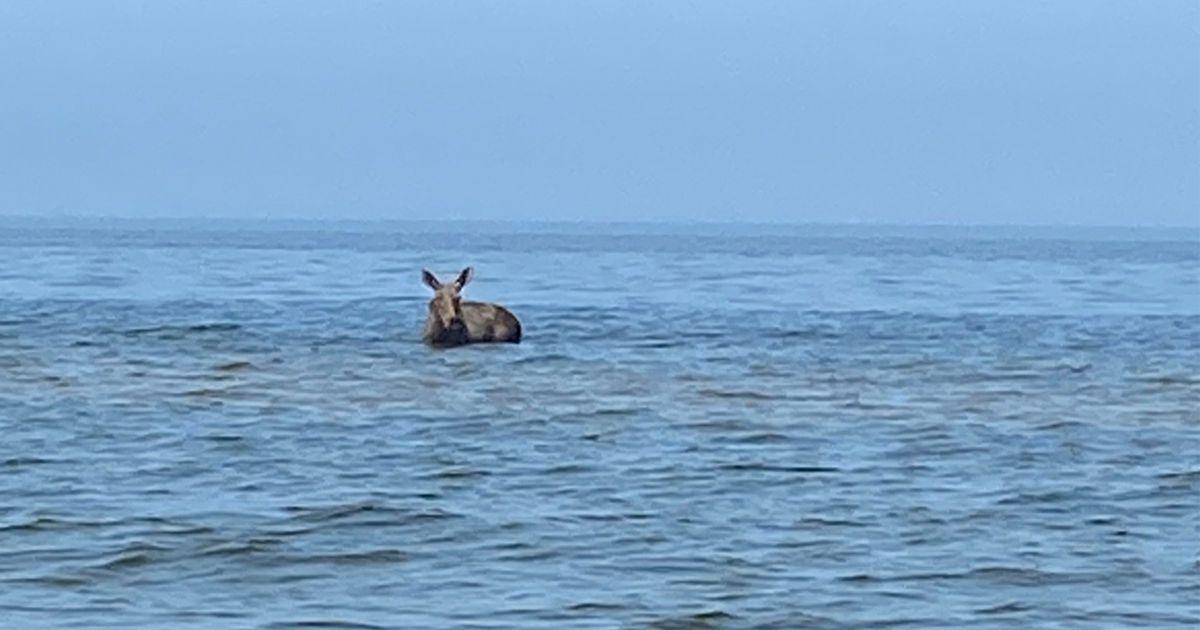 Видео: в Нарва-Йыэсуу жара загнала лосиху в море