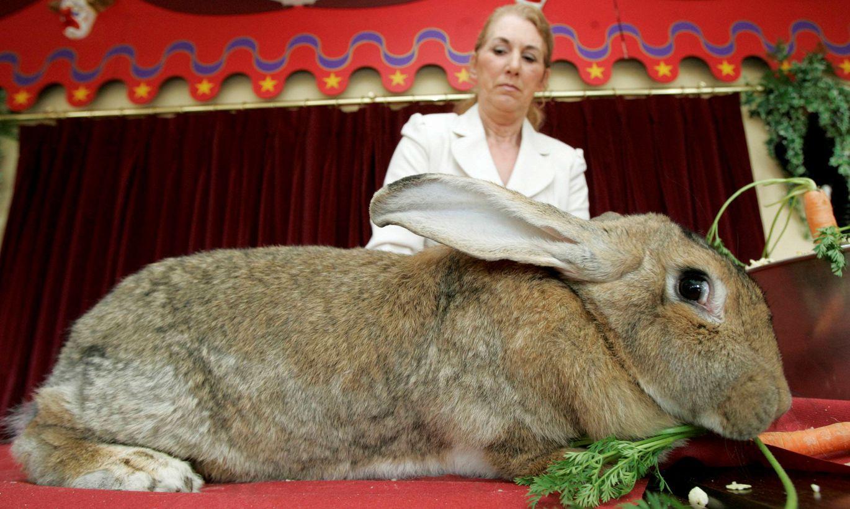 Смотреть картинки кроликов гигантов