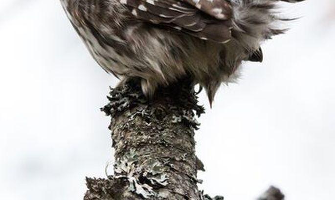 74ee2c6af2a Teadlased: kakupoeg loobub toidust näljase kaaslase kasuks - Linnud ...